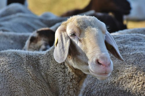 sheep-4396840_1920